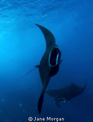 Mantas feeding in Manta Alley by Jane Morgan 